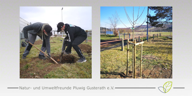 Baumpflanzung in Pluwig